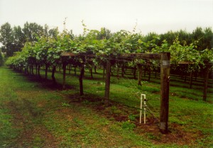 Kiwifruit Cultivation