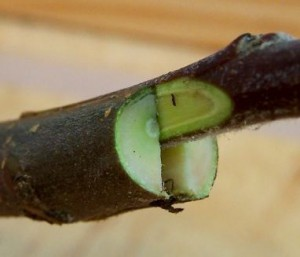 Propagating kiwifruit by cleft grafting